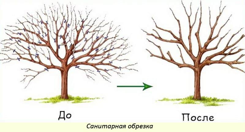 Схема санитарной обрезки груши.