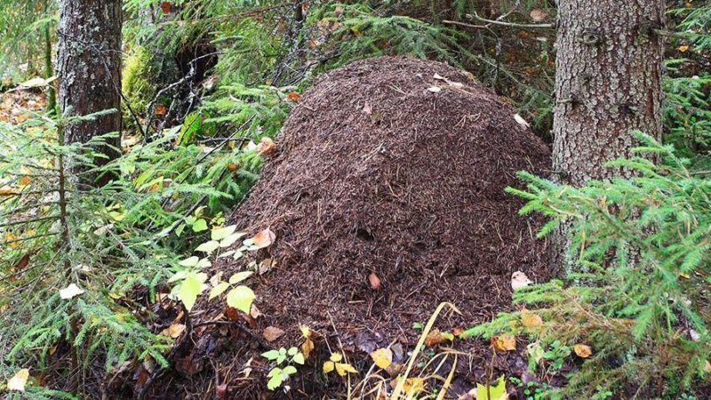 как бороться с муравьями.