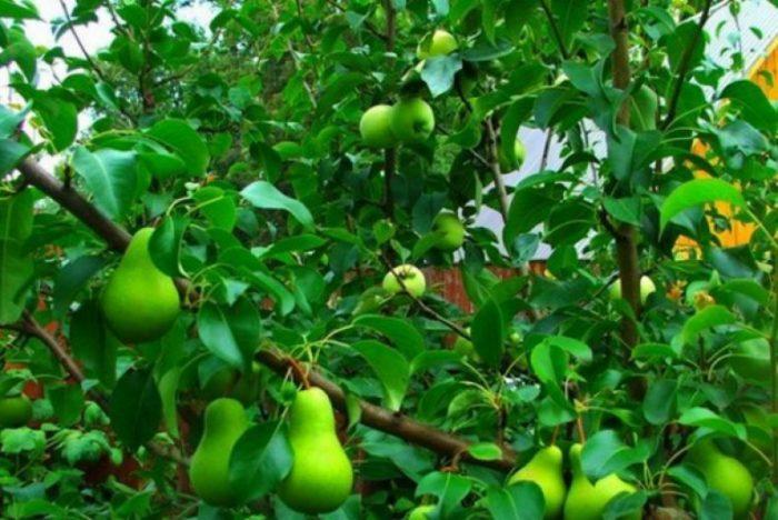прививка груши на яблоню.