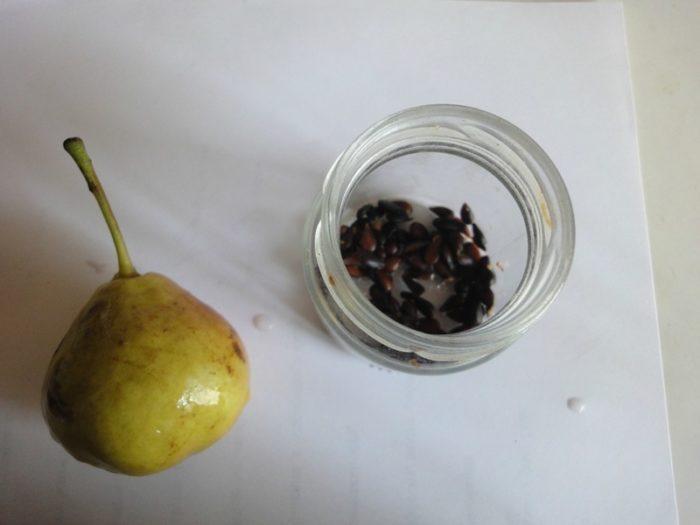 как вырастить грушу из семян.