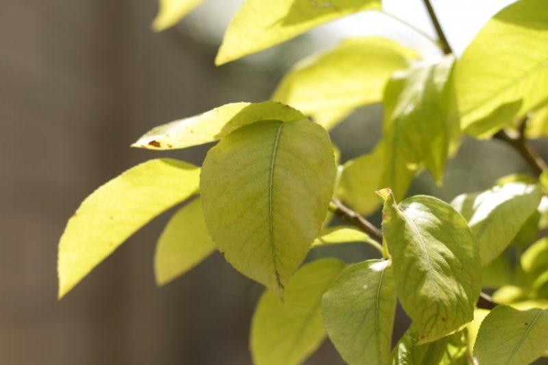 хлороз на листьях груши.