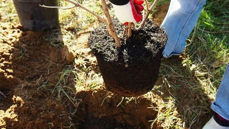 как посадить грушу весной.