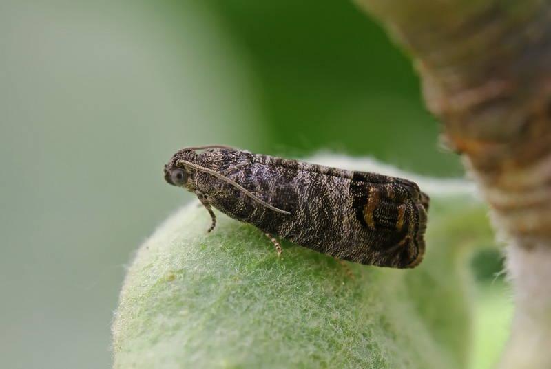 плодожорка: фото бабочки.