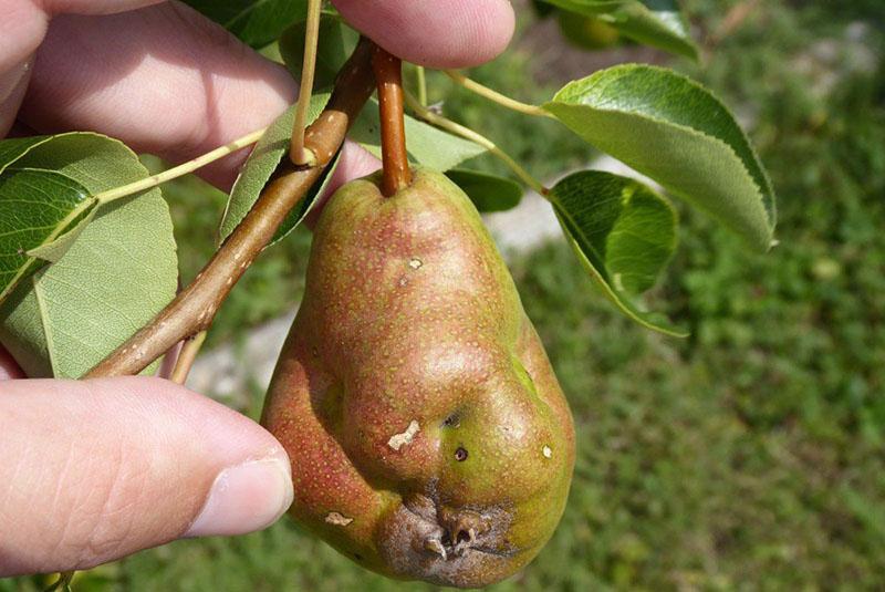 Каменистость плодов груши: фото.