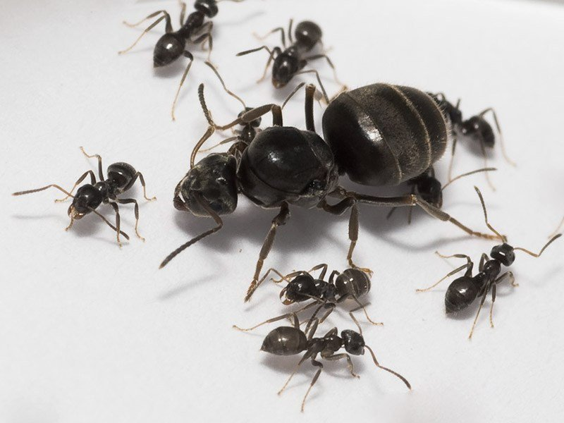 как бороться с муравьями на груше.