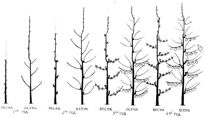 схема обрезки колоновидной груши.