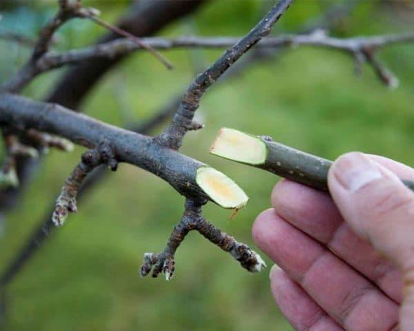 как привить грушу на яблоню.