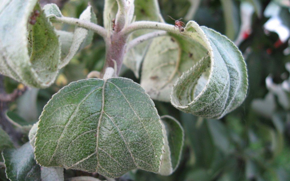 Скучиваются листья на груше