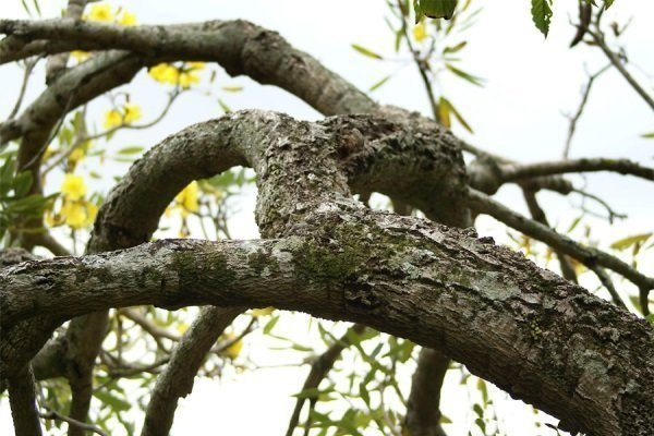 Бороздчатость древесины груши.