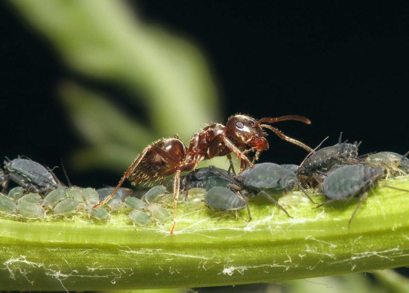 муравьи на участке.