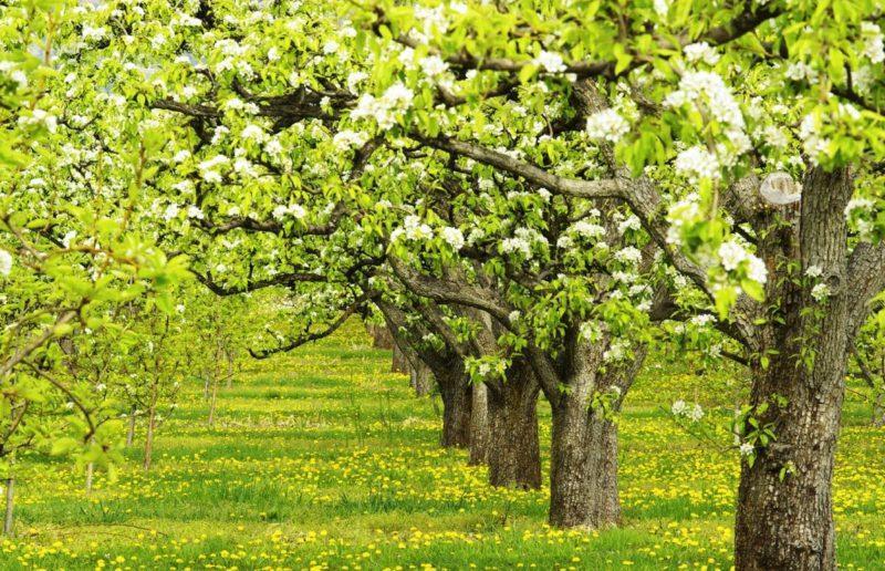 Полив груши весной