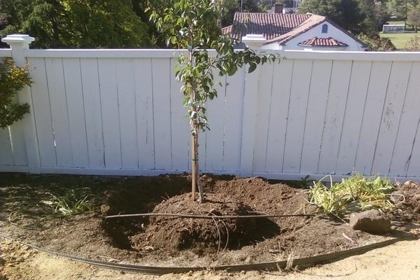 как посадить грушу в сибири.