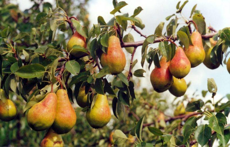 как заставить грушу плодоносить.