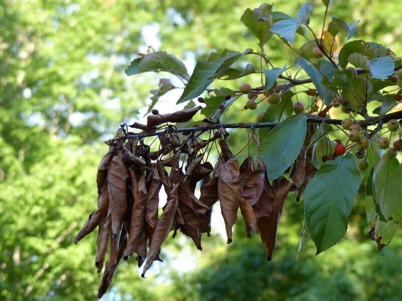 Заболевание, что распространяется по мягким тканям. Проявляется коричневыми пятнами между прожилками на листках, на коре заметны светлые выделения липкого налёта.  Начинается проявляться болезнь с самой верхушки и постепенно опускается вниз. Бутоны и завязи также коричневеют, мумифицируются, но держаться на ветвях.