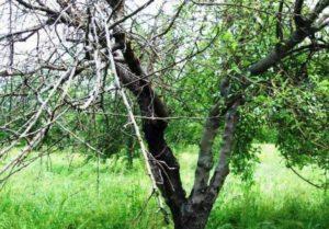 Чернеет ствол у яблони: что делать.