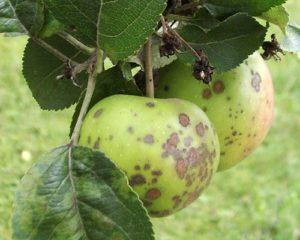 Тёмные пятна на листьях яблони.