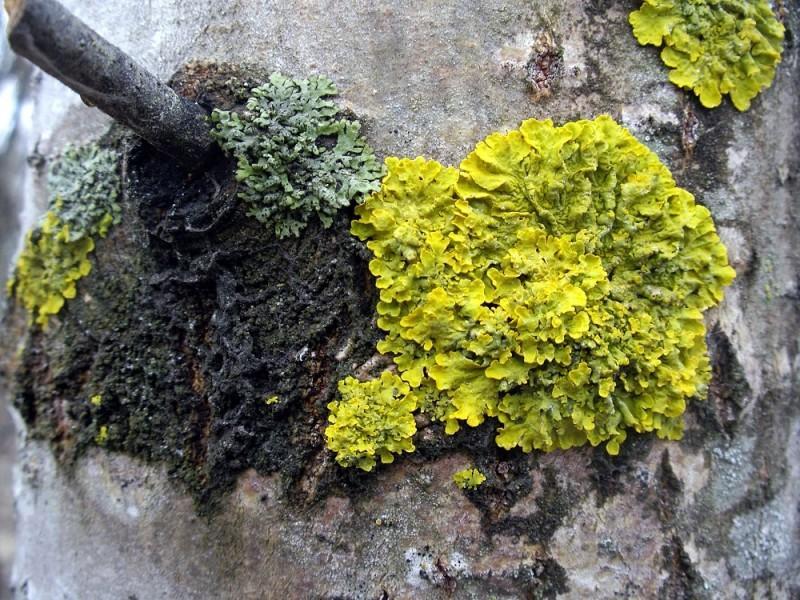 Название этого лишайника – ксантория настенная. Яркий оранжевый или золотой листообразный вид. Растёт очень медленно.
