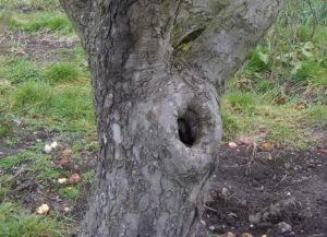 Заделка дупла в яблоне.