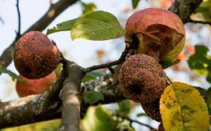 Почему яблоки гниют на дереве.