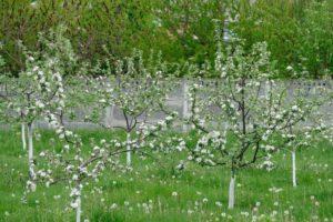 Яблоня не цветёт: что делать.