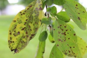 Коричневые пятна на листьях яблони.