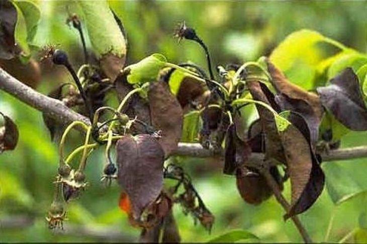 Заболевание характеризуется появлением чёрных точек, которые быстро охватывают всю площадь яблони. При отсутствии лечения, все деревья поразит бактериальный ожог.  В весенний период обязательно опрыскивают деревья Купростатом, Оксихомом, Хомом, бордосской жидкостью. Перед обработкой срезают и сжигают повреждённые части. Раны дезинфицируют раствором железного или медного купороса и наносят садовый вар. При сильном поражении культуры выкорчёвывают дерево, чтобы избежать распространения на остальные яблони. В приствольном круге производят обработку кипятком и препаратами с содержанием меди.