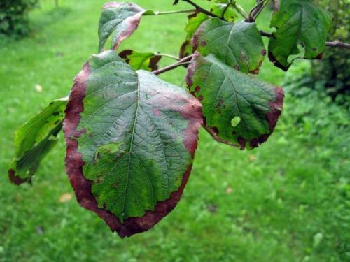 На листьях можно увидеть споры в виде кругов точечных. Точки увеличиваются в размере, а лист покрывается сплошным налётом. Листочки засыхают и опадают. Дерево начинает плохо плодоносить и не сможет пережить зиму.