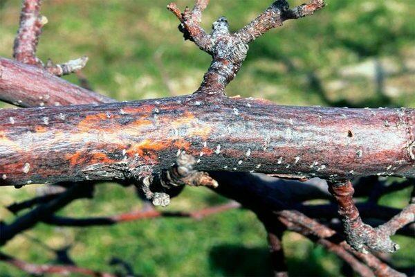 Последняя стадия создаёт кольцо, охватывающее ствол. На этом этапе невозможно помочь яблоне. Растение засыхает и погибает. Соцветия при заболевании покрываются точками чёрного цвета. Они подвержены деформации и чернеют внутри.