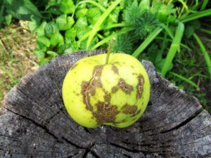 Почему яблоки трескаются на яблоне.