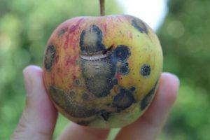 Как избавиться от парши на яблоне.