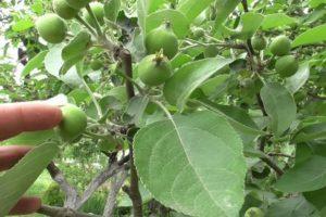 Почему осыпаются яблоки раньше времени.