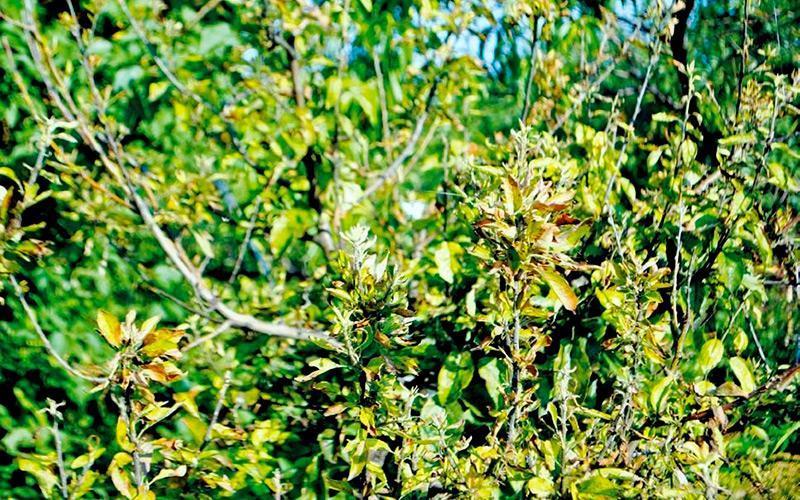 Симптомами этой болезни является деформация листвы. Пластинки скручиваются, меняют цвет, деформируются и становятся жесткими. Влияет заболевание и на фрукты – они становятся мелкими и теряют вкус. Для лечения нужно срезать и сжечь поврежденные части. Раны замазывают масляной краской. Для профилактики используется опрыскивание раствором сернокислого цинка. Также важно удалять своевременно сорняки и правильно подкармливать.