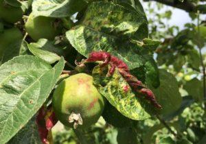 скручиваются листья яблони.
