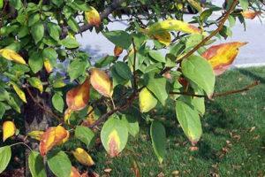 Пятна на листьях яблони.