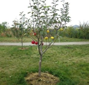 Яблоня засохла после цветения.