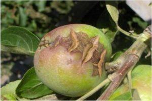 Почему трескаются яблоки на яблоне.