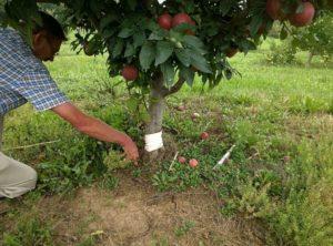 отслоилась кора на яблоне что делать.