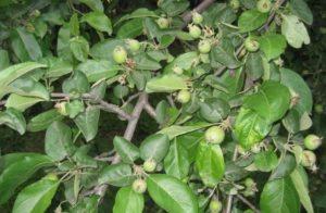 почему опадают яблоки с яблони