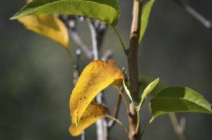 Почему желтеет молодая яблоня.