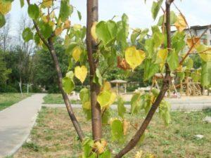Желтеют листья яблони.